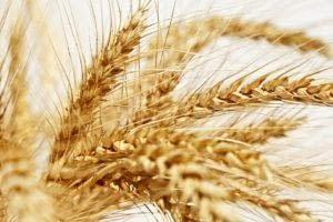 gluten in wheat is bad for you